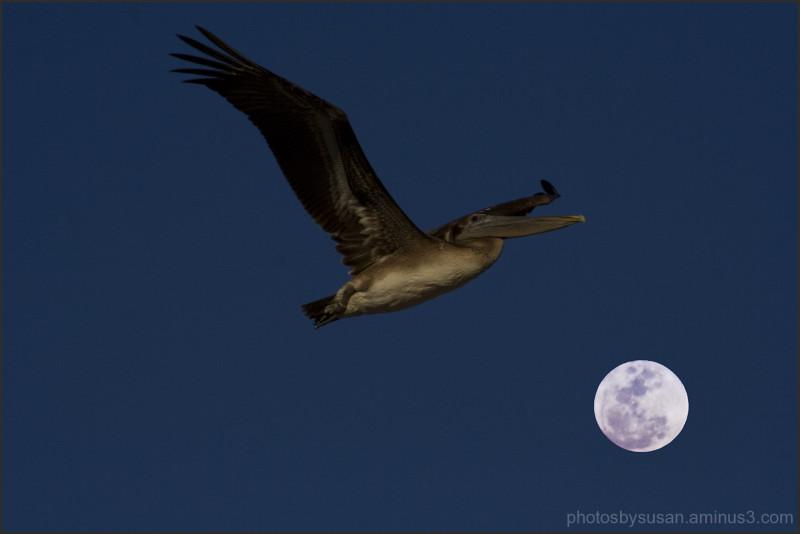 Pelican over the moon