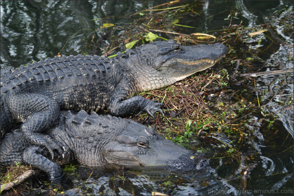 Gators in the Glades