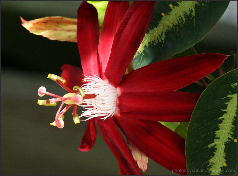 More Passiflora #2