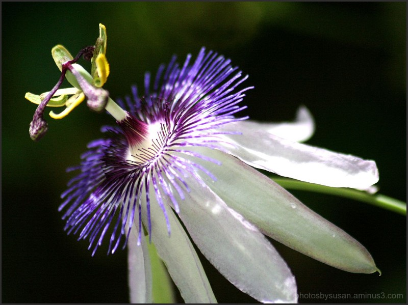 Beautiful Purple Passiflora #4