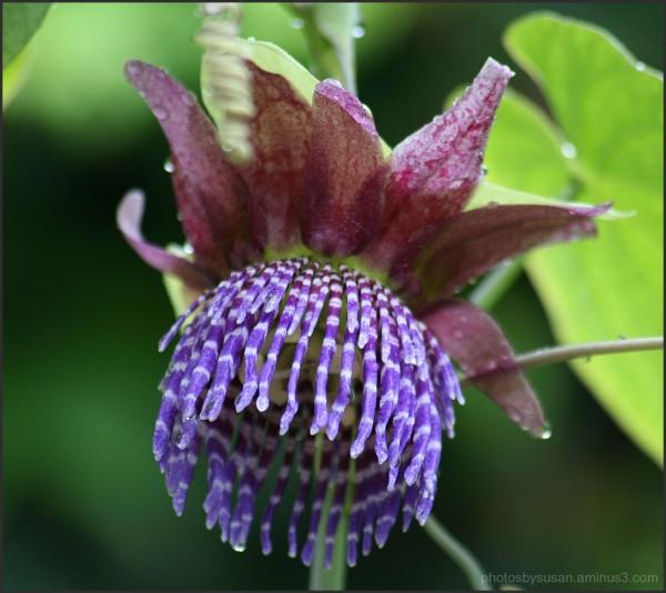 Passion Flower #7