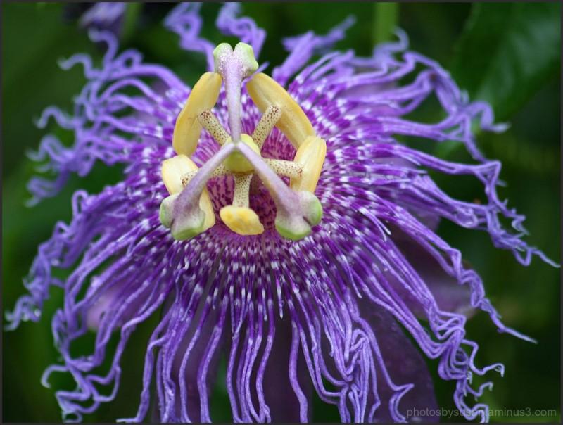 Passion Flower #8