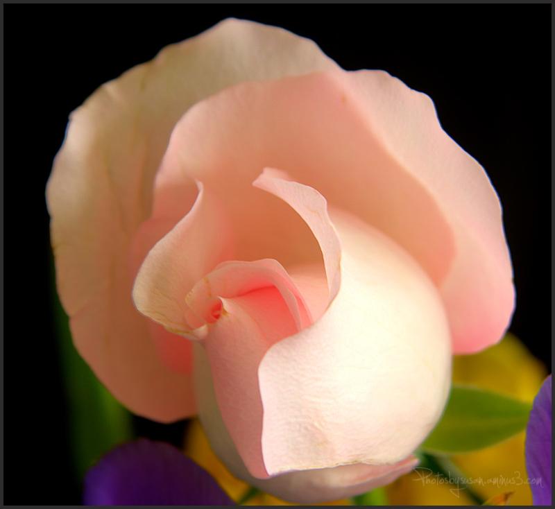 Rose Redux