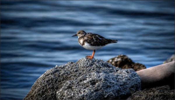Little Water Bird