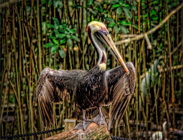 Pelican Solidarity