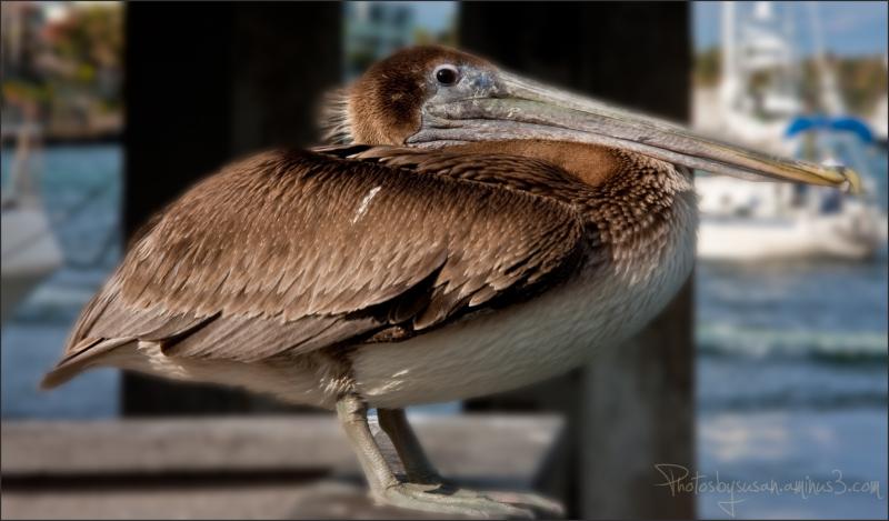 Pelican Solidarity Continues