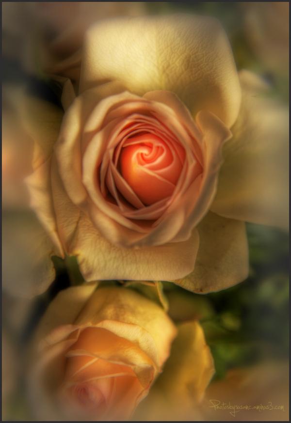 Last Rose of the Week