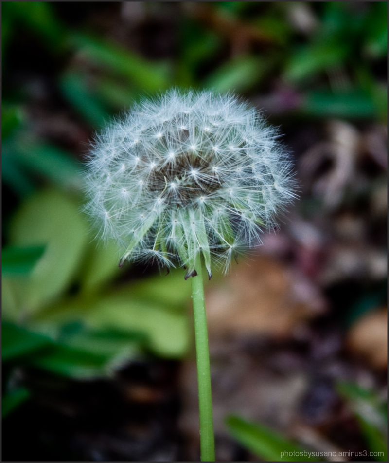 Dandelion, to be blown away