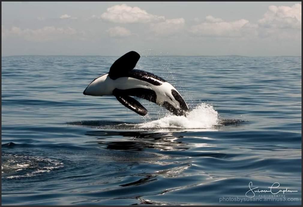 Orca shot Anacortes, WA