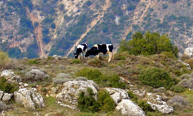 cows grazing in the open field on a hill