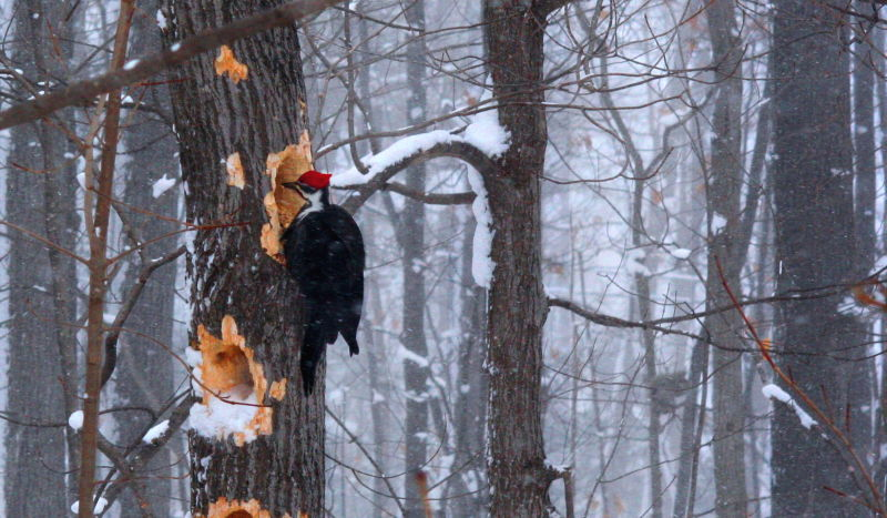 pileated woodpeckers don't hibernate,