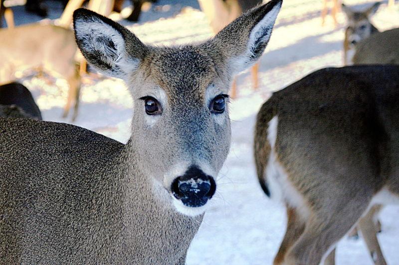 'Deer'est II