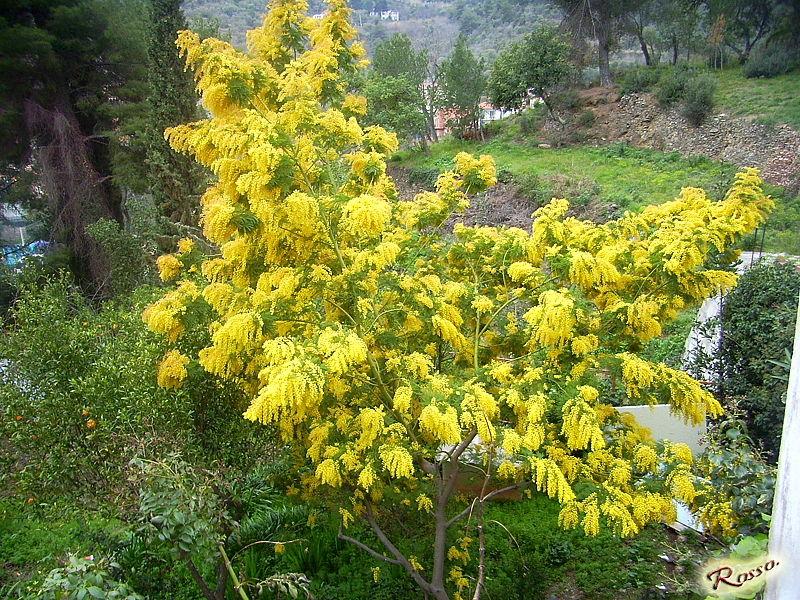 Mimose in primavera
