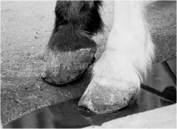 Animal- hoofs