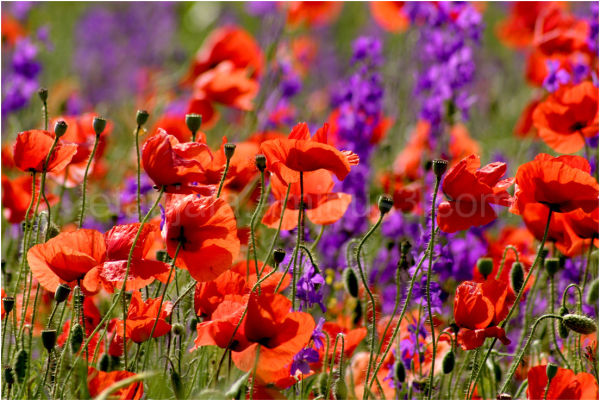 poppies summer