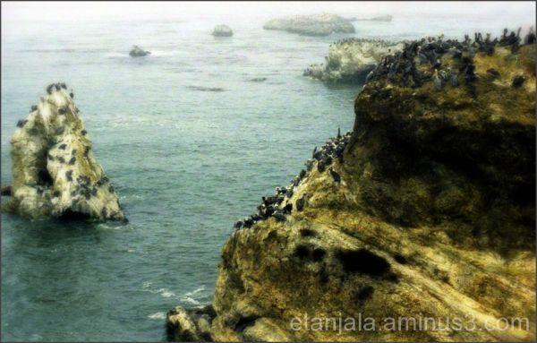 Cross America- Pelicans at Carmel, CA