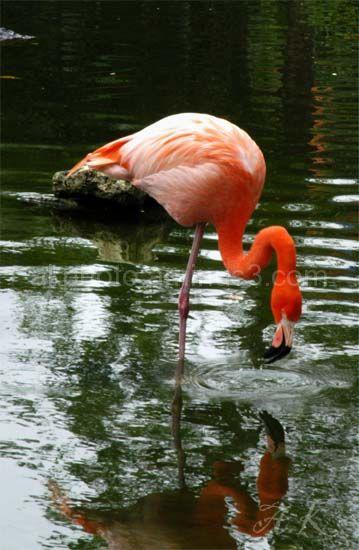flamingo, pink
