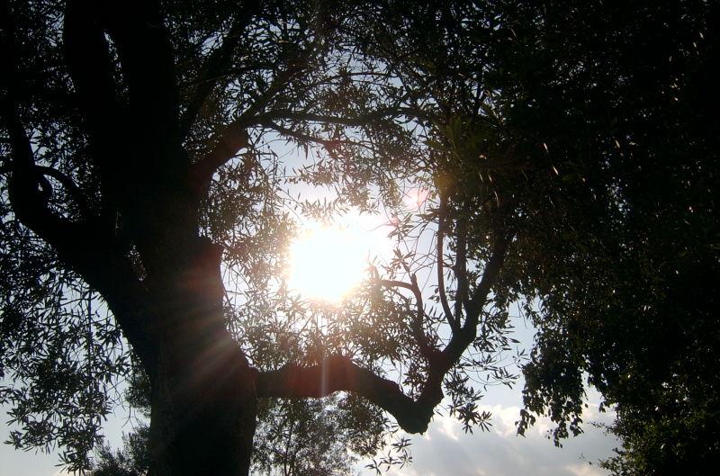 L'olivera i el Sol