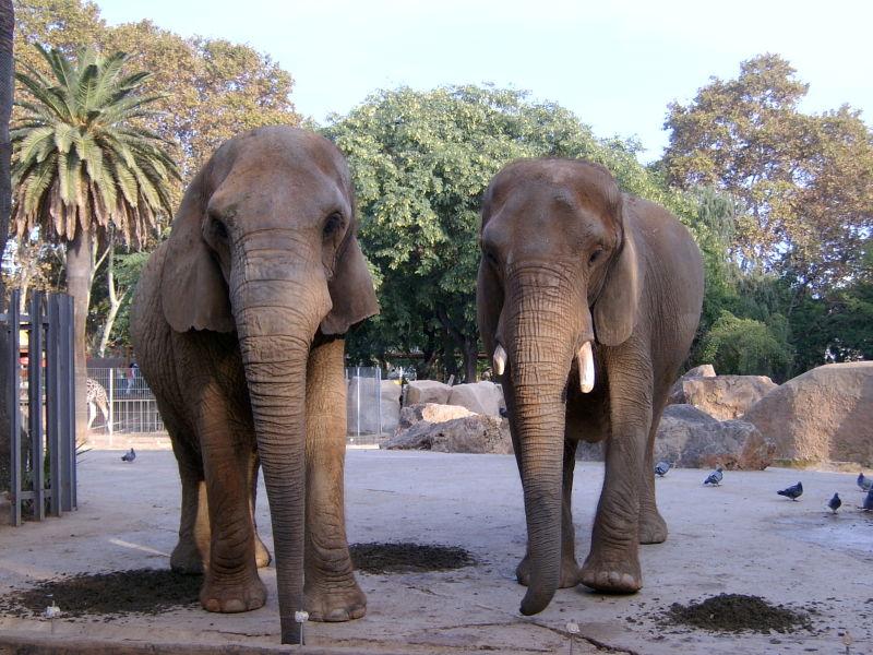Zoo de Barcelona (III). Elefants