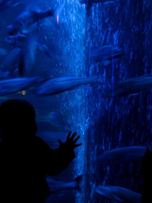 Child looks at swimming fish