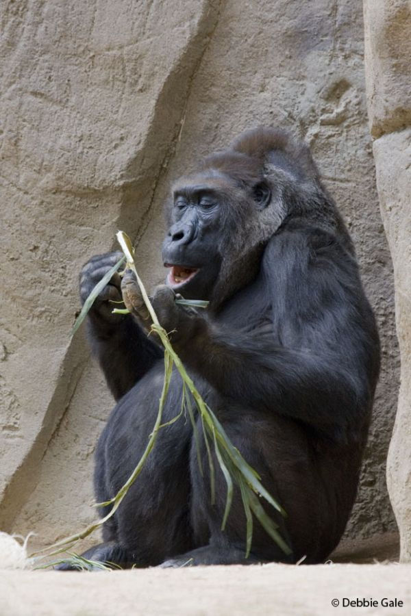 Lowland Gorrilla, San Diego Wild Animal Park