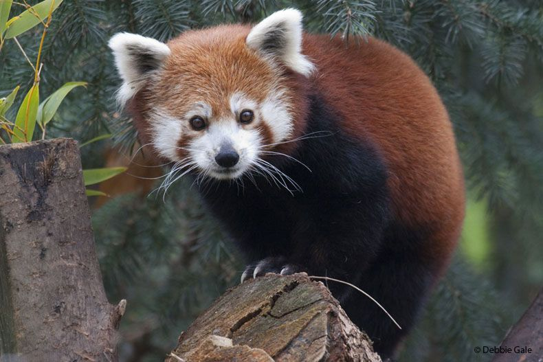 Red Panda - Sacramento Zoo