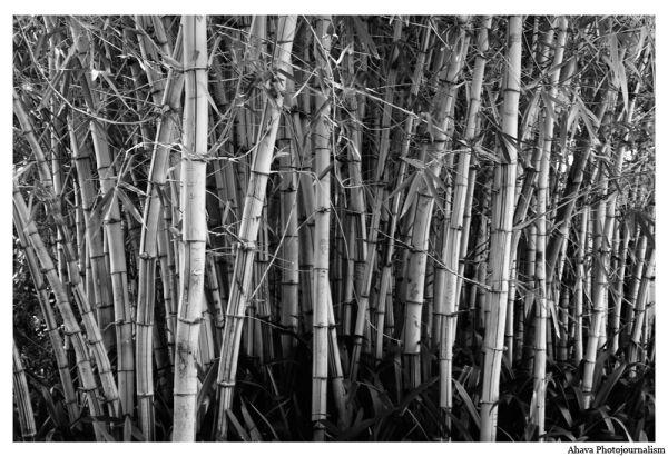 Black and white bamboo B&W