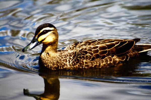 Mallard Duck Canberra