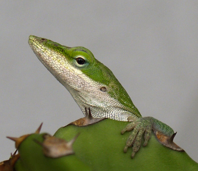 texas chameleon