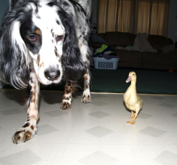 Hank and Duck