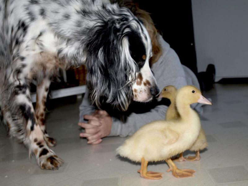 Hank and Ducks