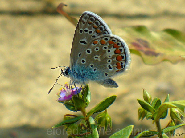 Blue Chalkie