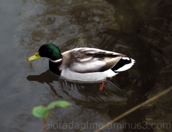 duck in lucca italy