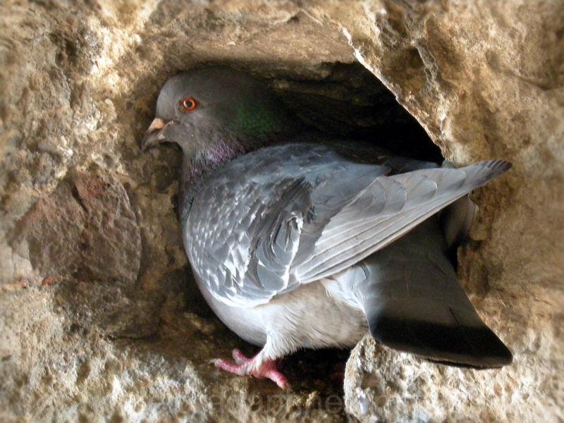 pigeon defending nest