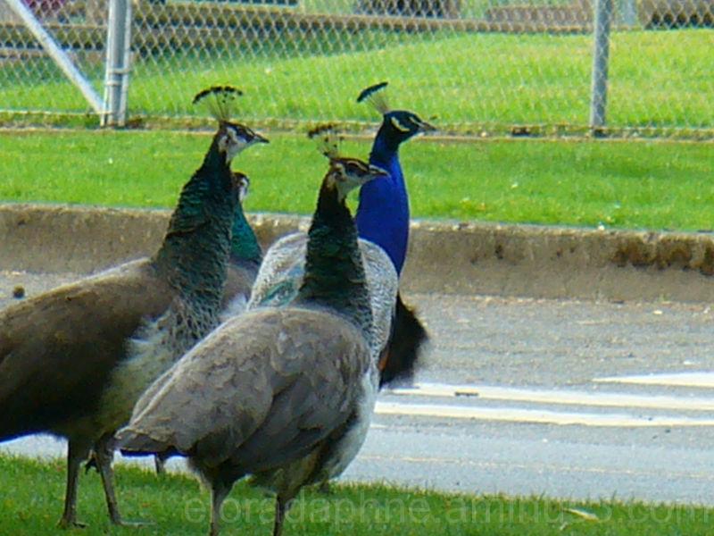 peacocks at Beacon Hill