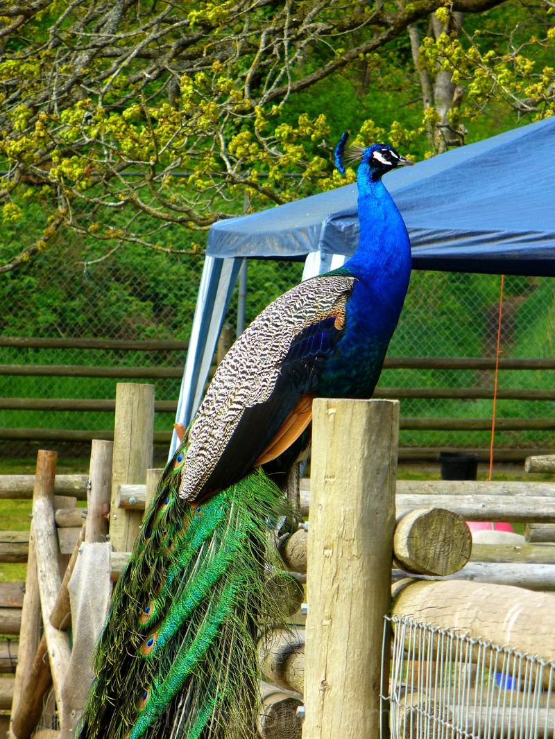 peacock victoria petting zoo