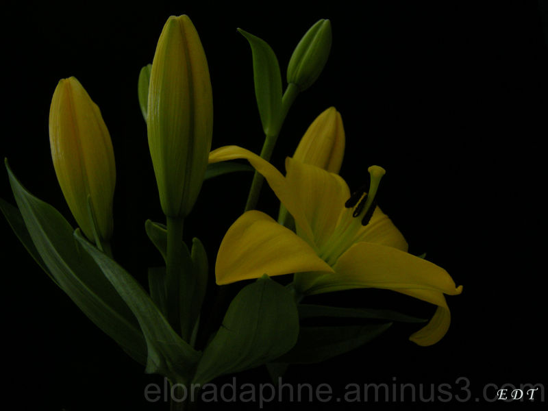 yellow lily on dark background