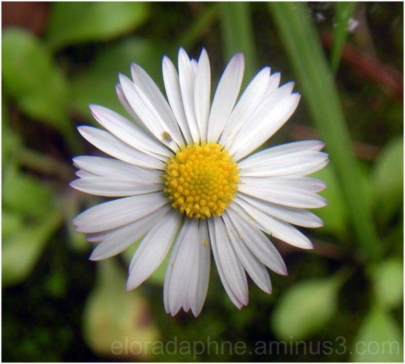 daisy and aphid