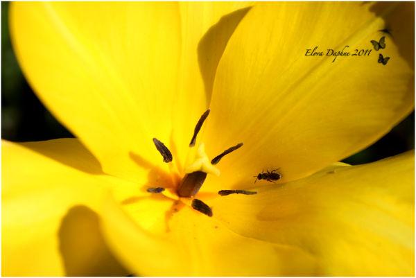 yellow tulip with ant