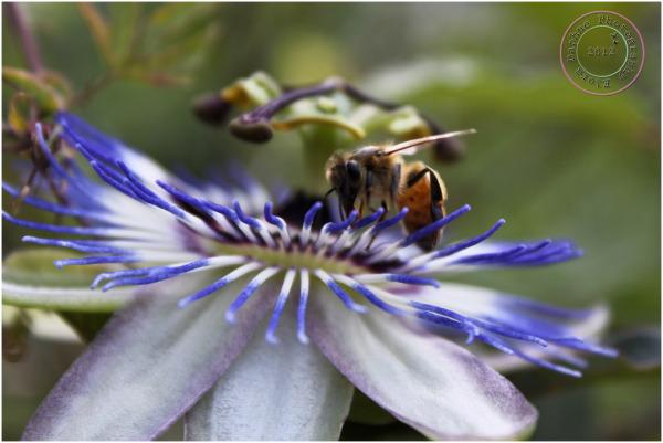 passiflora bee