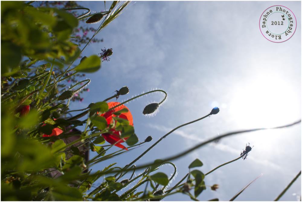 poppies sun