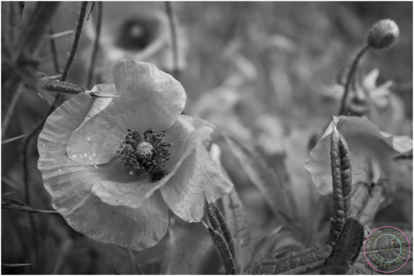 poppies black white