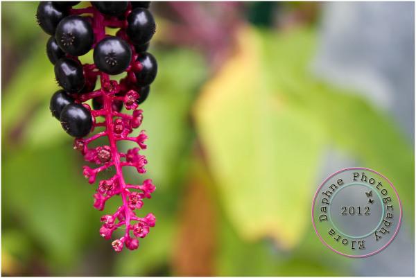 plant berries