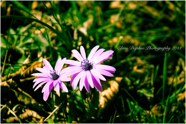pink daisies spring flowers