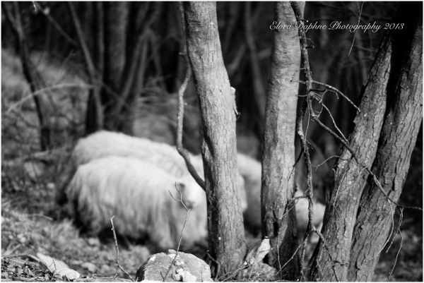 sheep tree black white