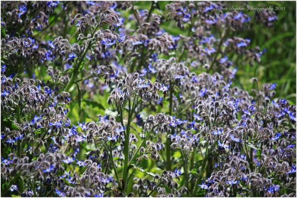 borage herb purple flower