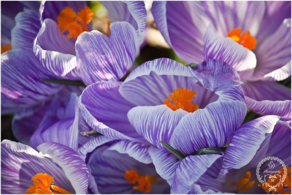purple striped crocus, spring flowers