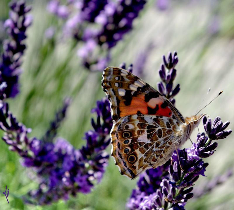 Papillon du jour... toujours l'amour...