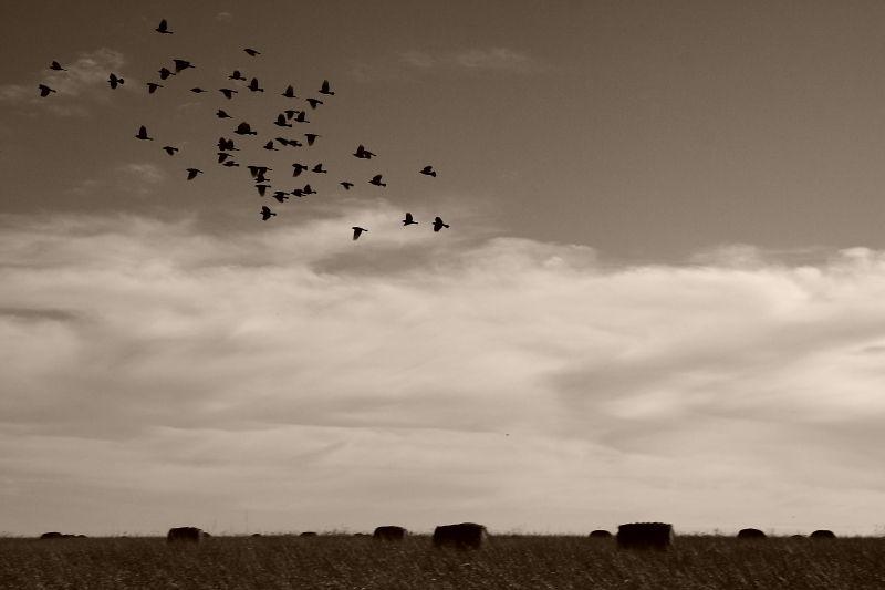 flock of birds over pasture
