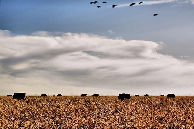 birds flying across hay field